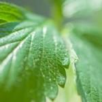 三つ葉の栄養と育て方 種類によって風味が違う三つ葉の選び方