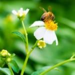 蜂に刺されたら応急処置は?蜂毒アナフィラキシーってなに?